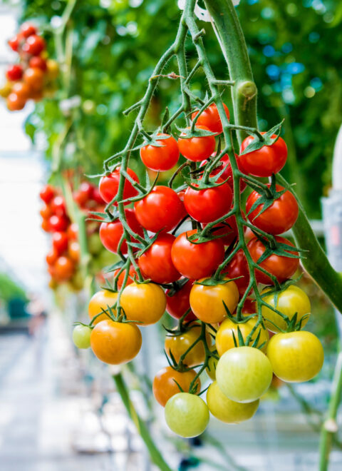 Beautiful red ripe tomatoes grown in a greenhouse. Beautiful background